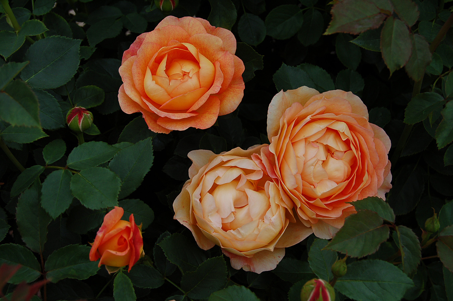 lady of shalott rose - photo #16