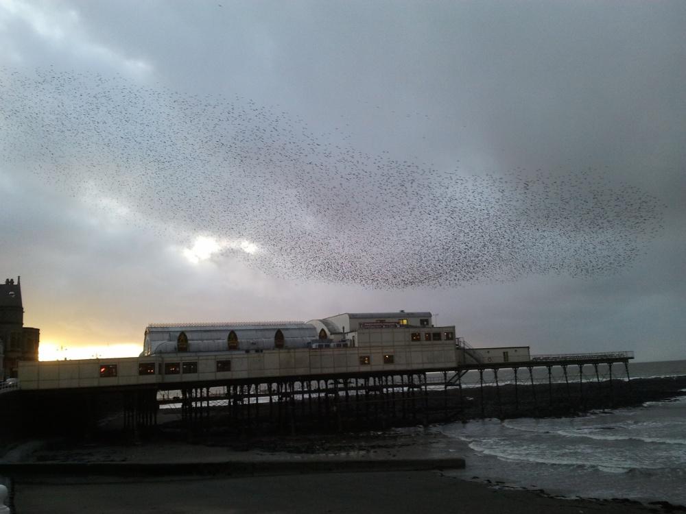 The Wonderful Starlings of Aberystwyth (2/4)