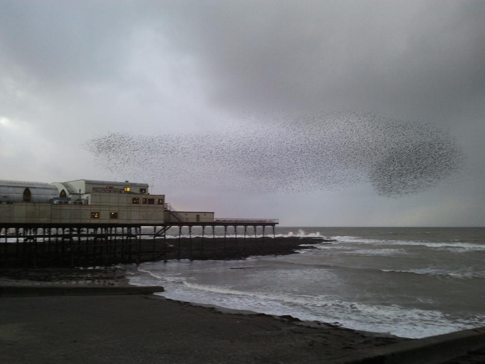 The Wonderful Starlings of Aberystwyth (1/4)
