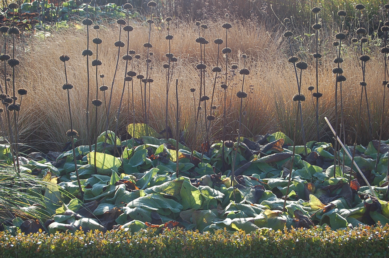 Phlomis a winter highlight greenbenchramblings for Piet oudolf fall winter spring summer fall