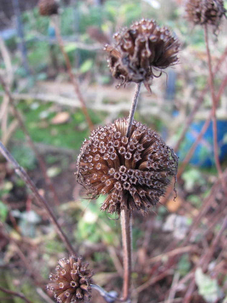 Phlomis - a winter highlight. (2/6)