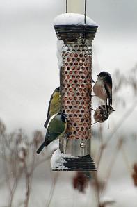 garden birds 11