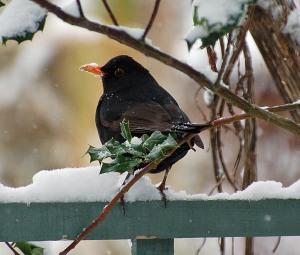 garden birds 12