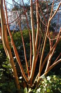 """Acer x conspicuum """"Phoenix"""""""