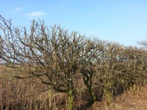 hedge 5