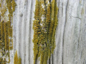 Algae on eroded wood.