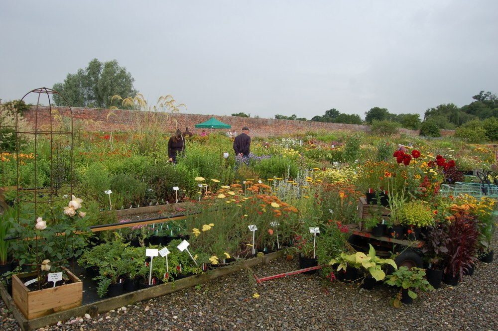 Day Lilies in a Walled Garden - Mynd Hardy Plants (2/6)