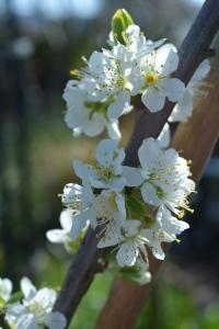 blossom-04