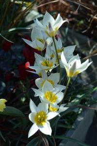 white tulip-1